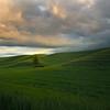 Lone Tree In Sunset Light - The Palouse Region, Washington