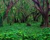Banyon Forest - Honolua Bay, West Maui, Hawaii