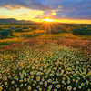 Sunburst Over The Spring Wildflowers - Carrizo Plain National Monument, California