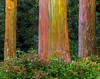 Grove Of Eucalyptus Trees - Hana Highway, Maui, Hawaii