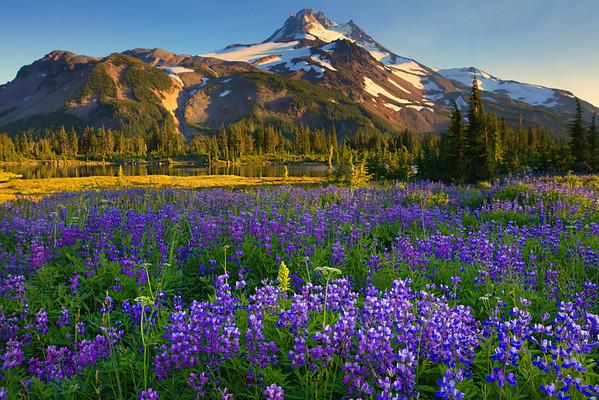 Fields Of Lupine In Jefferson Park - Jefferson Park, Oregon