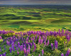 Lupine Morning On The Palouse - The Palouse, Steptoe Butte, Eastern Washington, Washington