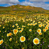 Gold Fever In Carrizo Plain - Carrizo Plain National Monument, California