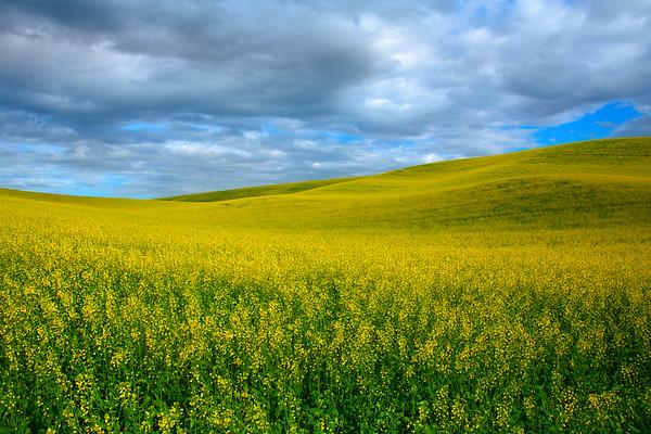 Canola Heaven In The Palouse - The Palouse Region, Washington