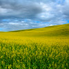 Canola Heaven In The Palouse - The Palouse Region, Washington