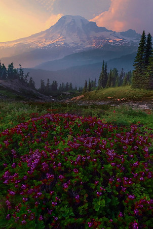 Heather Shining Near Sunset On Pinnacle Peak Pinnacle Peak Area, Mount Rainier National Park, WA