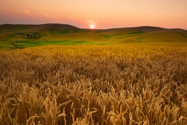 Sunset End Of Day Looking Over Wheat Field