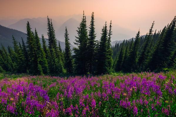 Meadows And Meadows Of Fireweed - Idaho Pass, Kootenay Rockies, BC, Canada