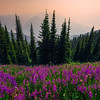 Meadows And Meadows Of Fireweed - Idaho Pass, Kootenay Rockies, BC, Canada