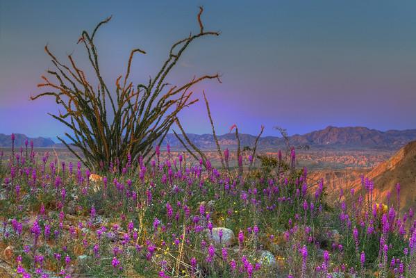 Purple Fever Alive In The Desert - Anza-Borrego State Park, California