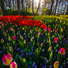 Last Streaking Light Through Forest On Tulips