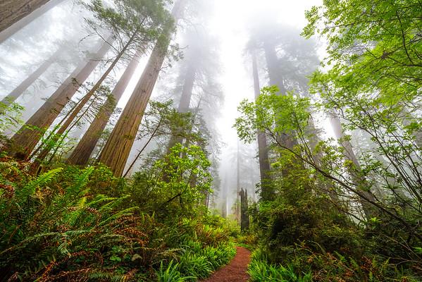 Falling Trees - Redwoods, California