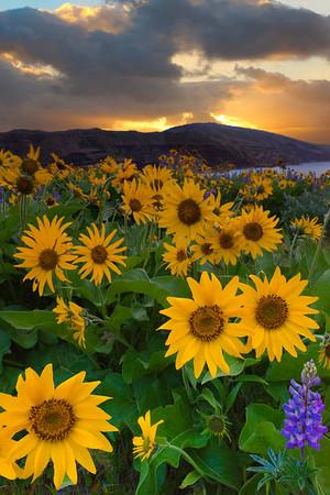 A Field Full Of Arrowroot - Rowena Plateau, Columbia Gorge Scenic Area, Oregon