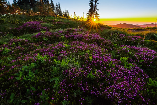 Purple Heather Glowing At Sunset -Tolmie Peak, Mount Rainier National Park, WA