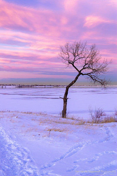 The bent tree after the snowstorm
