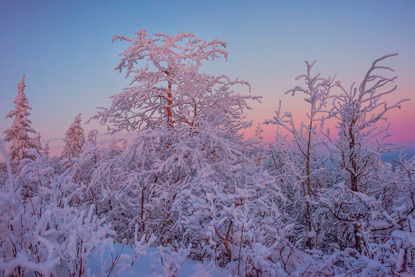 Hoar Frost Trees In Twilight -Ester Dome, Fairbanks, Alaska