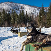 Alaskan Dogs Waiting To Be Taken Out -Chena Hot Springs Resort, Fairbanks, Alaska