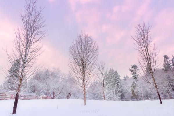 Winter Pinks On Rural Farm - Olympia, WA