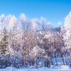 Morning Frosty Trees_ -Chena Hot Springs Resort, Fairbanks, Alaska