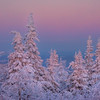 Immersion Of Snow Capped Tree -Ester Dome, Fairbanks, Alaska