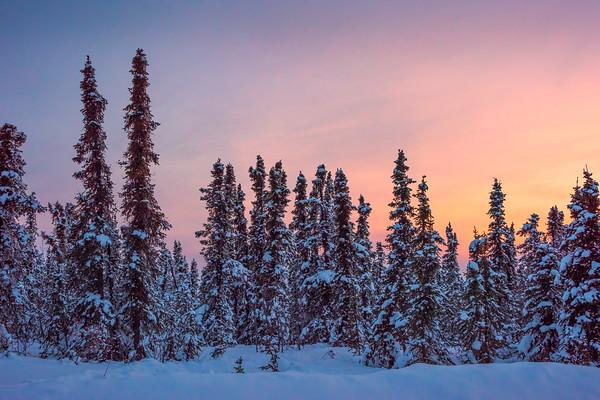Sunset Glow Over Snow Capped Trees -Fairbanks, Mt Aurora Skiland, Alaska