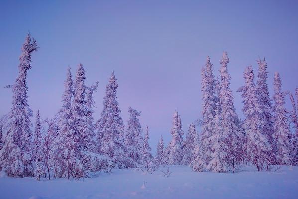 Forest Of Twiligh -Fairbanks, Mt Aurora Skiland, Alaska