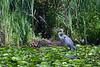Arboretum-Blue Heron Fishing