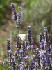 Lavender bloom in Sequim, WA (Cedarbrook Farm)