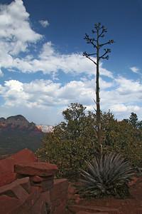Century plant on Doe Mountain.