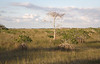 Everglades National Park - Flamingo: Cypress and Mangrove in glades grasses