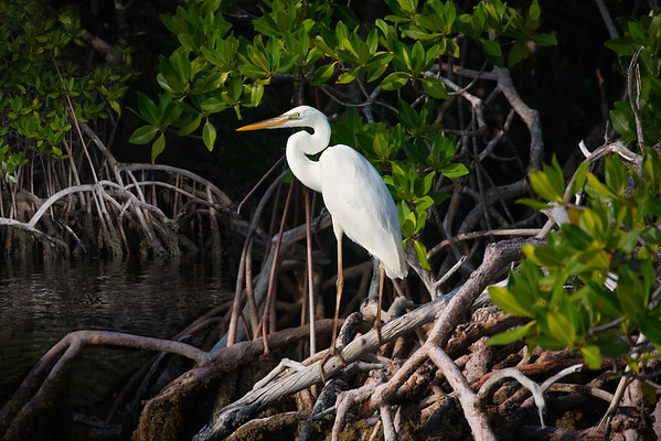 Great White Heron in Mangroves