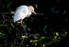 Cattle Egret with fierce expression at Nesting Colony amidst tattered crusty leaves of pond apple