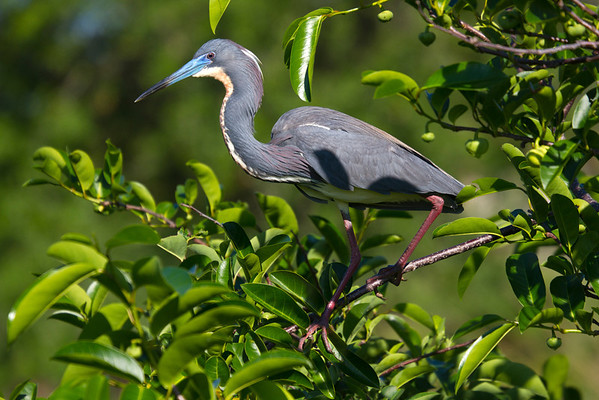 Lousiana Heron aka Tri-Color Heron in pond apple tree- springtime in its mating plumage and colors- note the brilliant blues in the beak, red eyes and legs, buff back plumage and white head feathers