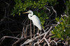 Geat White Heron faces the morning sun perched on mangrove roots at Pennecamp.
