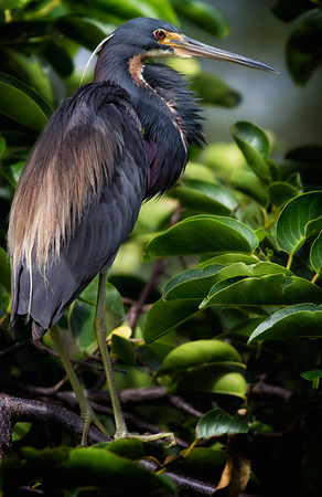 Louisiana Heron in Pond Apple Tree