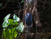 Little Blue Heron looking quizzical  in the lushness of  Big Cypress Preserve in front of cypress knees and next to that tenatious last leaf.