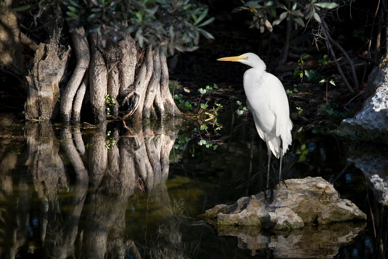 White Egret stands quietly amid a serene reflected morning scene along Tamiami Trail, Big Cypress, Florida