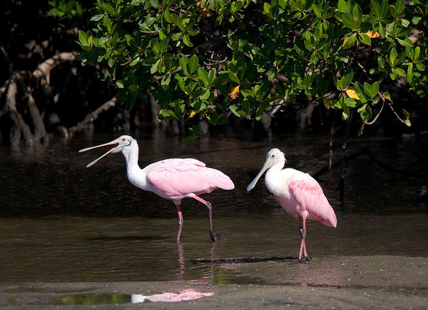 Roseate Spoonbills on the banks of the Big Marco River, Marco Island, Florida: One looking rather  demure and the other chatting away!