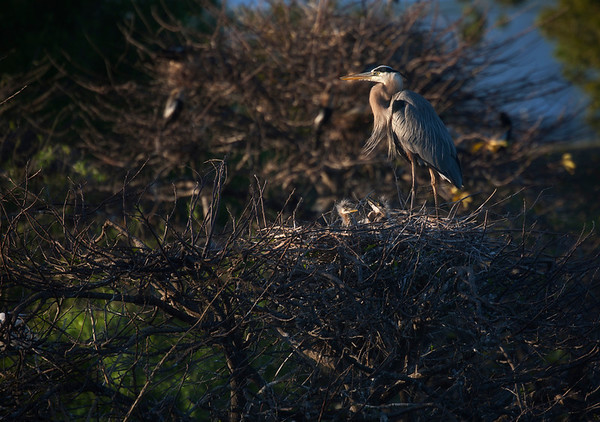 Great Blue Heron parent stands by its chicks after feeding - a tender yet moody scene spotlighted by the setting sun. Coloring and golden eyes alike in parent and young even at this early stage.