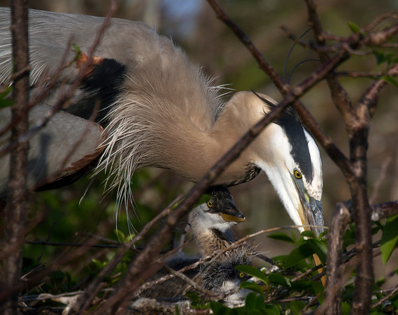 A more tender maternal view of a Great Blue Heron tending to nestlings