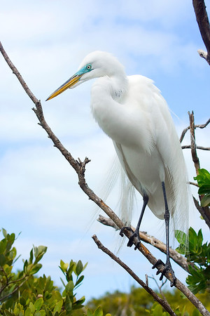 White Egret- Key Largo