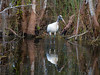 Woodstork amid the natural tangle of the Big Cypress Preserve
