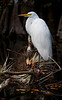 Great White Egret - Big Cypress-Sweetwater Strand-on fallen tree limb adorned with tillandsia airplants