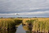 Snowy Egret flies over a vast and watery prairie along Tamiami Trail