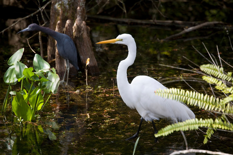 Little Blue Heron adopts a curious pose in the background while a white egret strides into the scene.