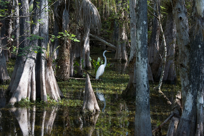 Egret strolls though morning light streaming through the cypress canopy in Florida's Big Cypress Swamp