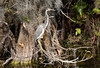 Tri-color Heron aka Louisiana Heron seems to complete the circle it makes with the branch it is perched upon. Big Cypress-Tamiami Trail-Florida