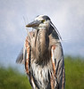 Great Blue Heron Portrait: I call it my Seminole Indian Chief Heron as the visage seems so strong and of the glades, the wind tossed feather detail only adds to that vision.