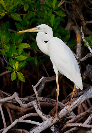 Great White Heron - Pennecamp Mangrove Scene