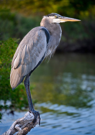 Great Blue Heron - Merritt Island - Florida